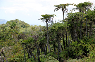 Tree ferns at Bellevue peak