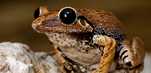 Caribherp -  A database on amphibians and reptiles of the Caribbean Islands