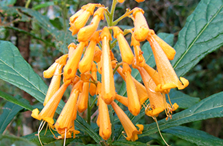 Hispaniolan Glorybower (Clerodendrum picardae)