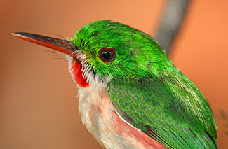 Broad-billed Tody (Tody angustirostris)