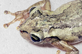Hispaniola Laughing Treefrog (Osteopilus dominicensis)