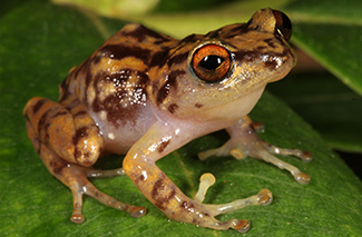 New Species of Forest Frog