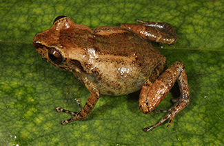 New Species of Reticulate-skinned Frog (Eleutherodactylus sp.)